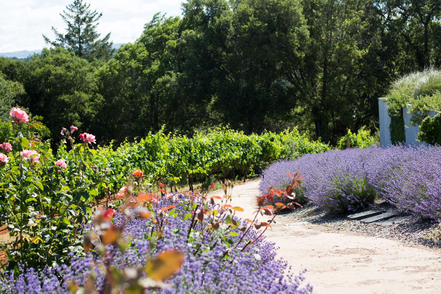 Lavender borders a path of decomposed granite. Photograph by Mimi Giboin. For more, see Landscape Architect Visit: Vineyard Views in Healdsburg's Dry Creek Valley.