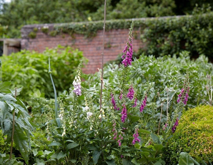 Old Lands Wales walled garden foxgloves by Britt Willoughby Dyer