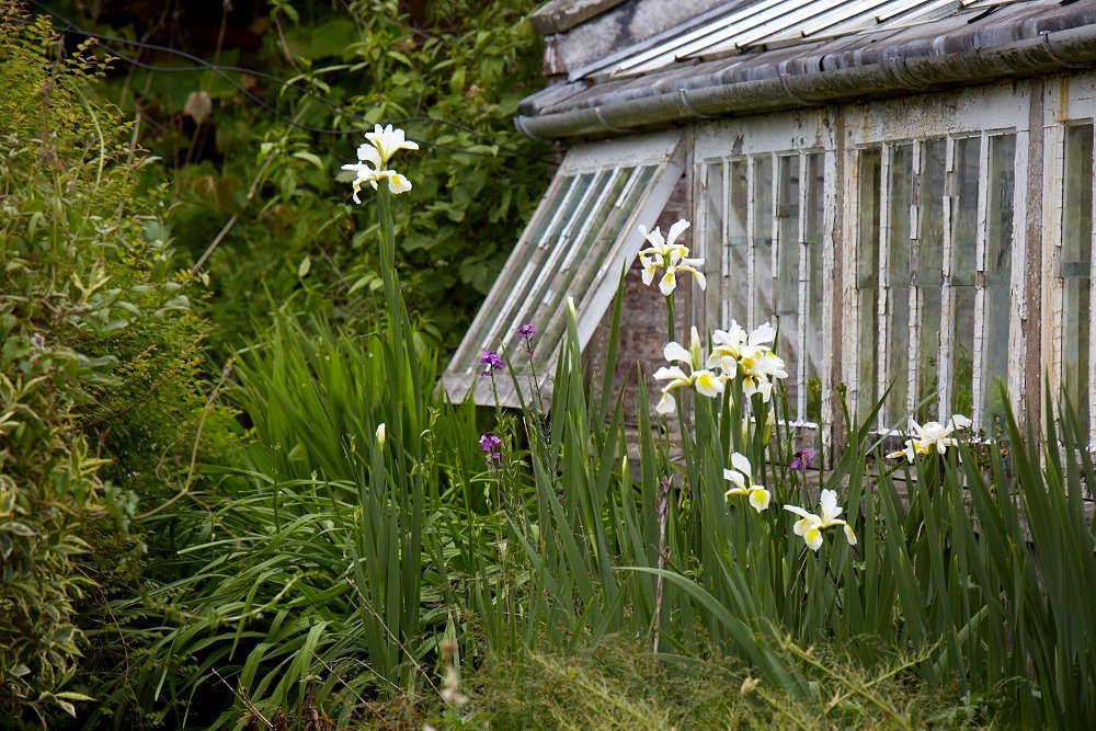 Irises bloom beside glass houses in Wales. For more of this garden, see Walled Gardens: An Organic and Picturesque Plot at Old-Lands in Wales.