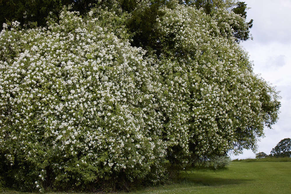 Awhite rose, given as a wedding gift in the 1970s, now clambers high up into trees.