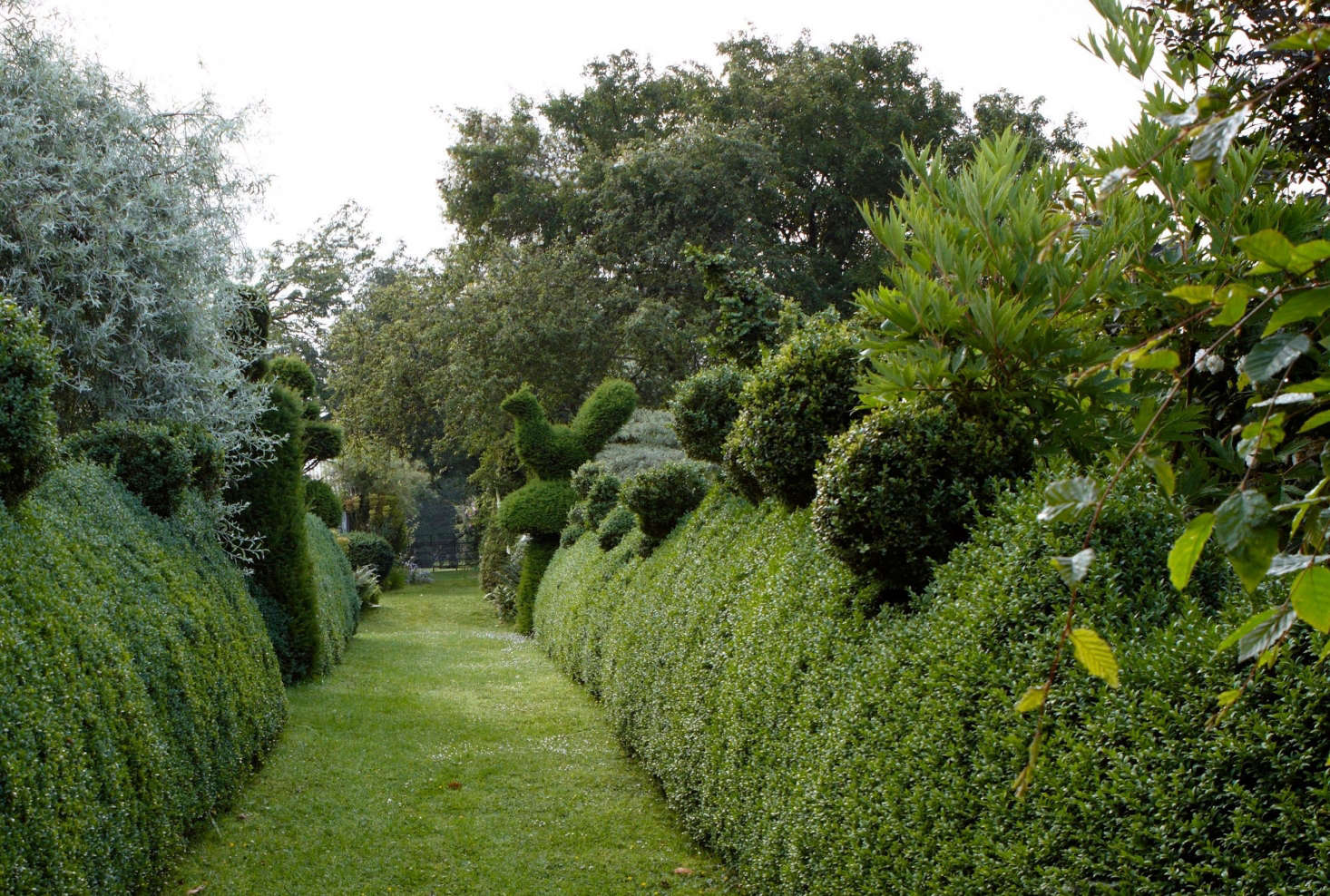 English boxwood tamed and topiarized, through judicious pruning. Photograph by Britt Willoughby Dyer.
