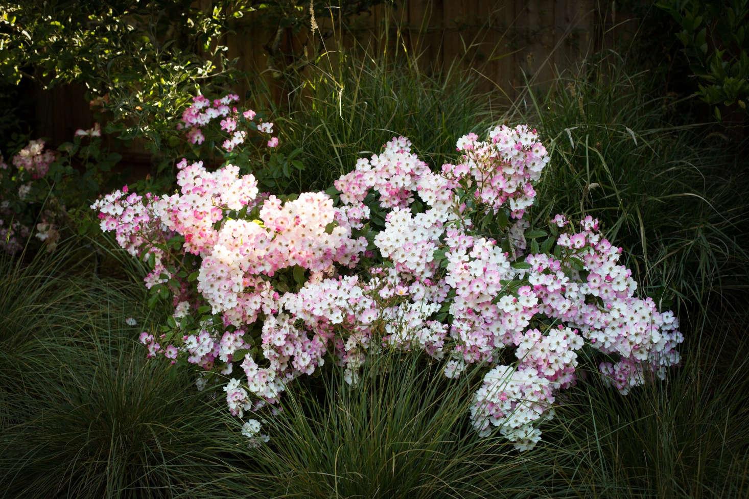 Zephirine Drouhin Climbing Rose the 7 best climbing roses for your garden - gardenista