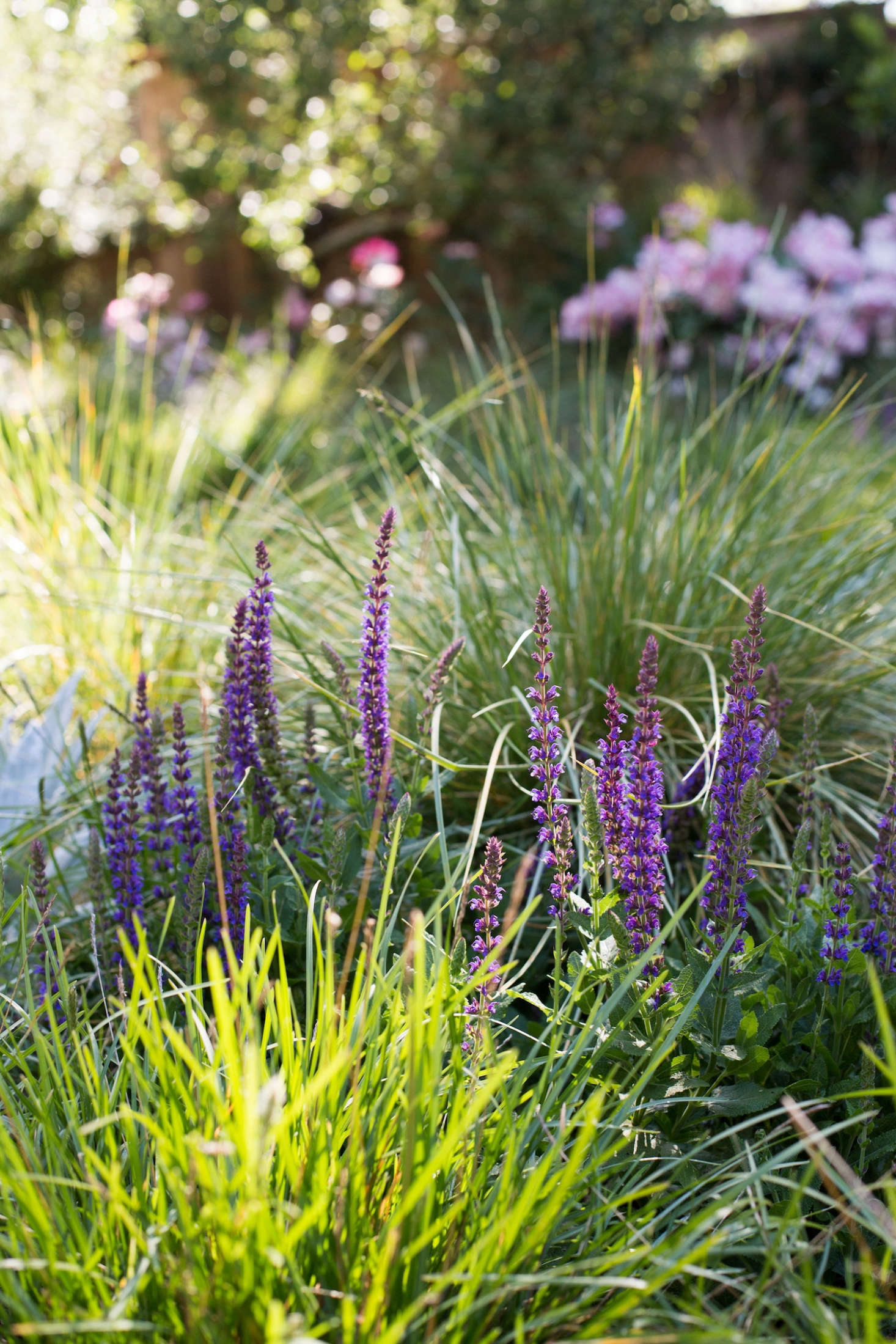 Low-maintenance salvias and meadow grasses. Photograph by Mimi Giboin.