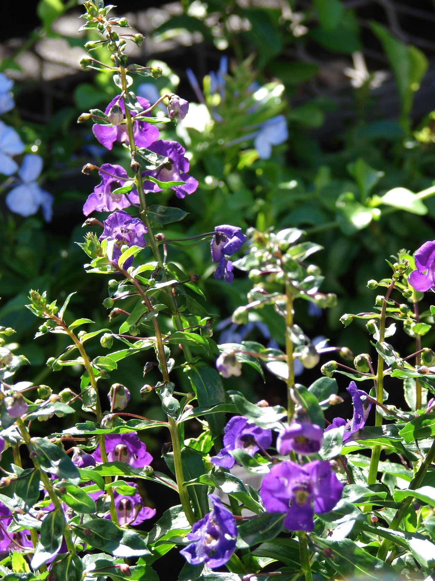Gardening 101 Angelonia Gardenista