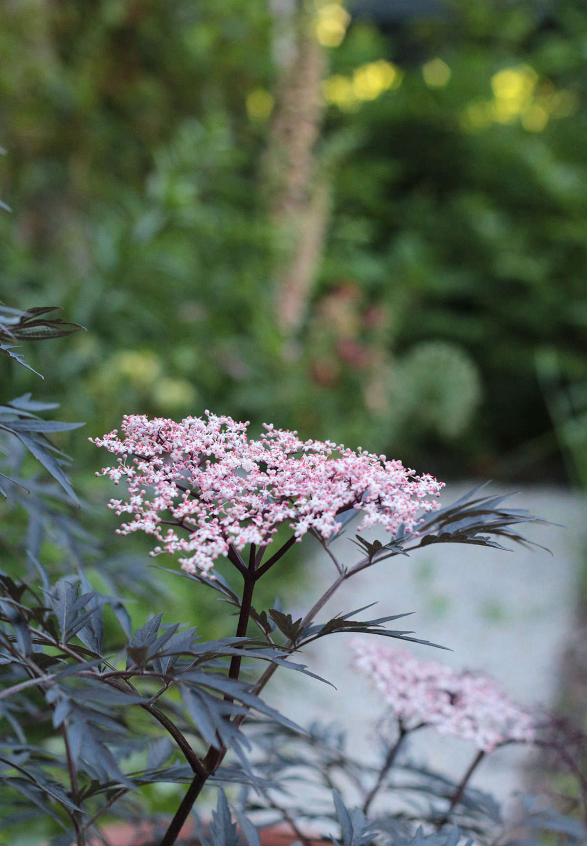 The dark purple and lacy leaves of Sambucus nigra 'Black Lace' have the added benefit of showy foliage.