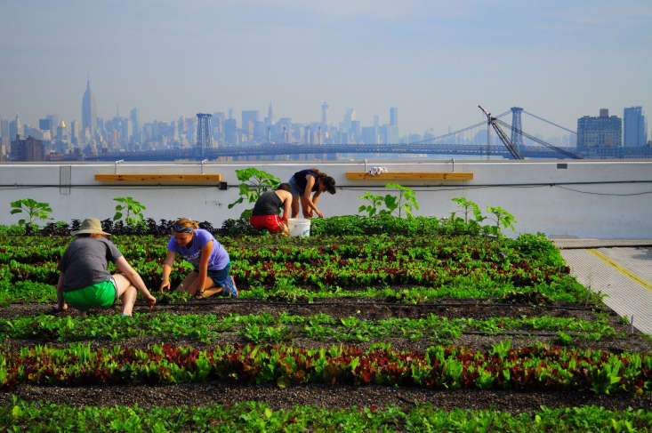 Farmers harvest rows of produce at Brooklyn Grange's Navy Yard rooftop farm