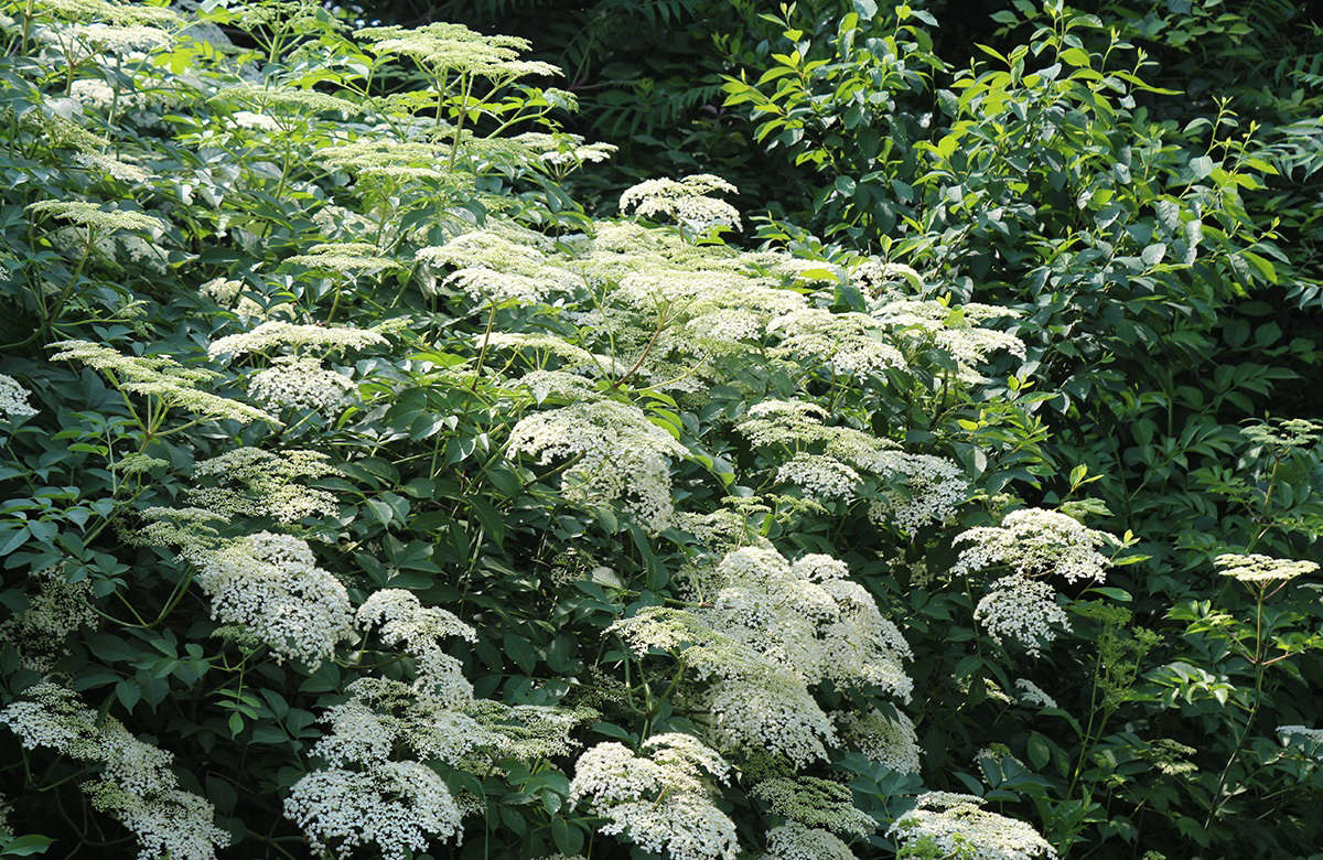 While there are several species of Sambucus, the most widely distributed is common elderberry, which is now considered a subspecies of European elderberry and classified as Sambucus nigra ssp. canadensis.