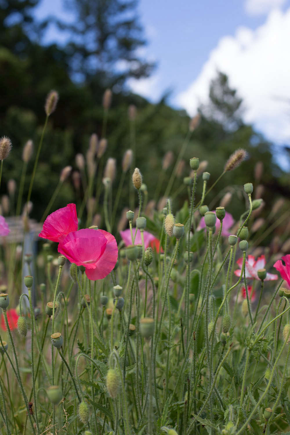 It is not really possible to go wrong with poppies, whether you plant fringed, double, or velvety lipstick-pink varieties such as Cupcake or Poppy of Troy,both among the dozens of varieties available seasonally for from $4.95 to $5.95 for a 4-inch pot from Annie&#8