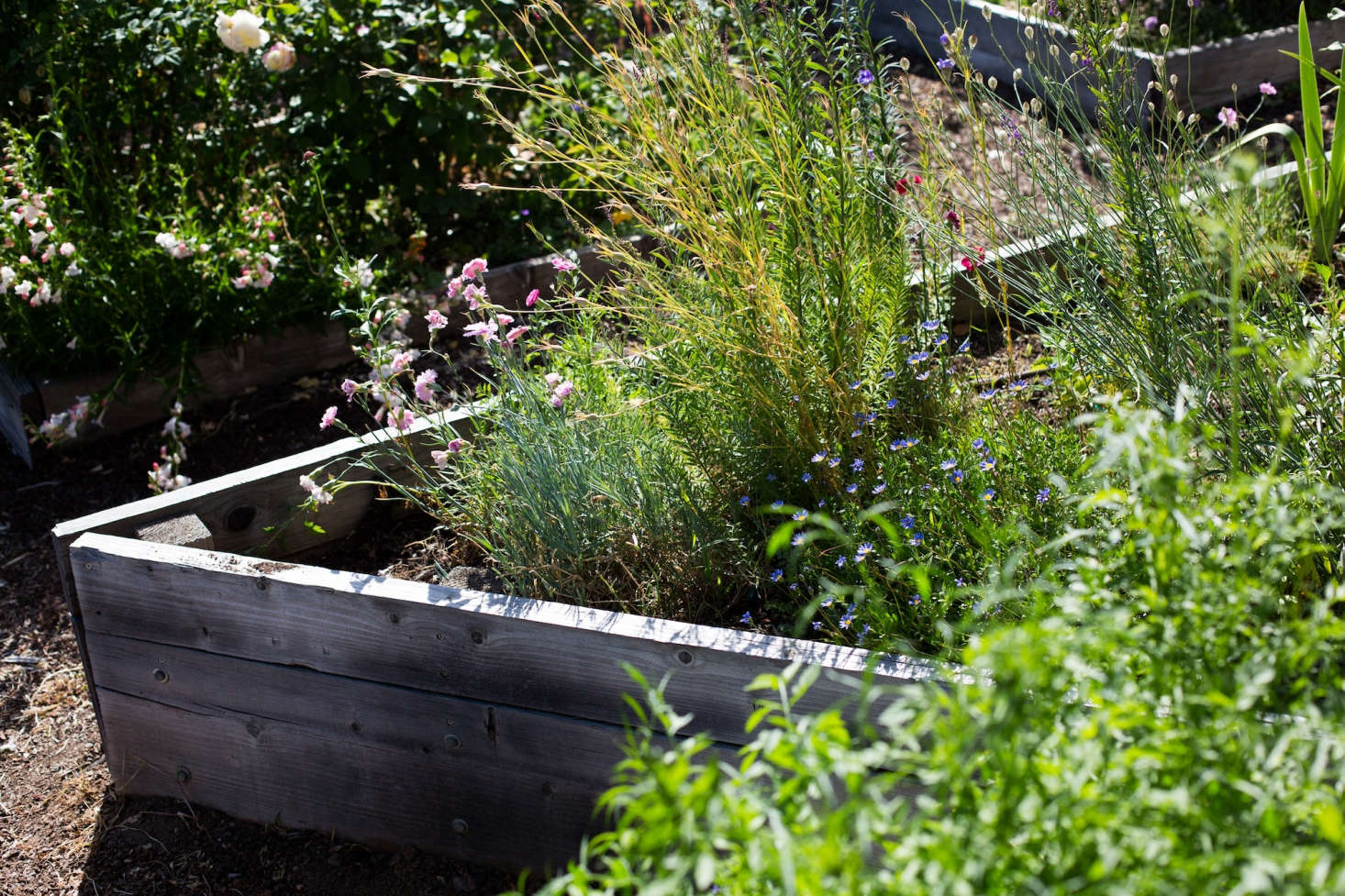 Made of simple wooden boards, the raised beds weather to a silvery gray and do not distract from the colorful plants.