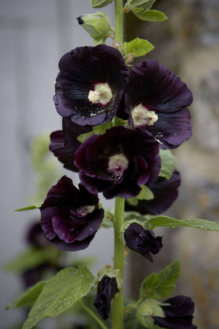 Gardening 101: Hollyhocks