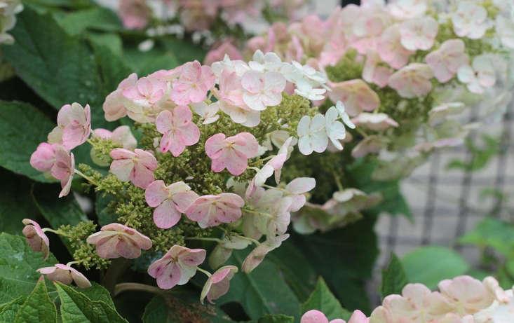 container gardening shade Oakleaf hydrangea flower by Marie Viljoen