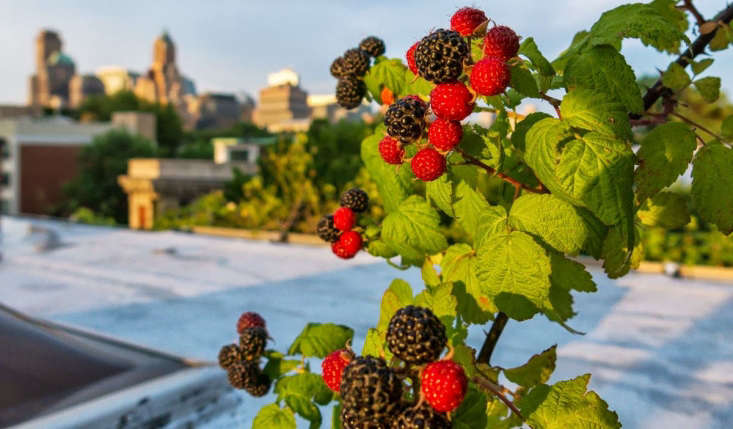 Rooftop black raspberries by Vincent Mounier