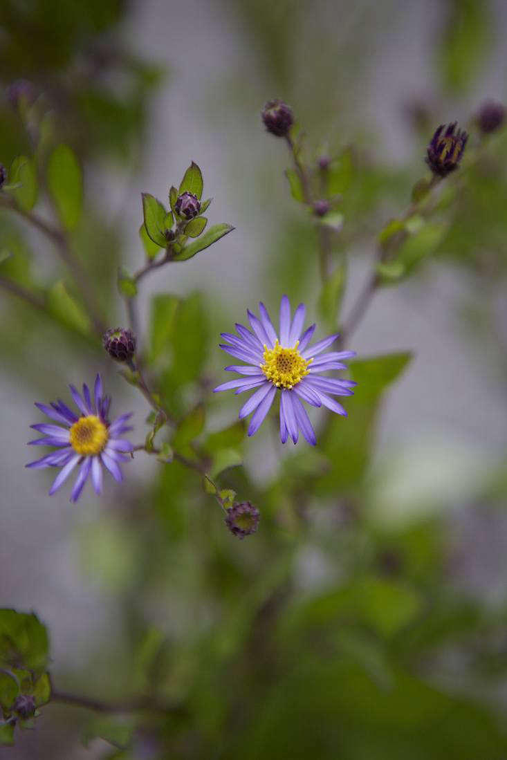See more asters at White Flower Farm andOld Court Nurseries.