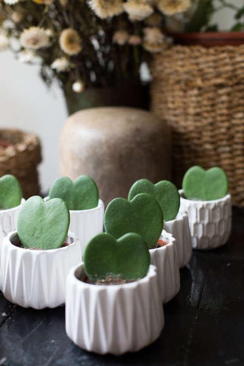 Succulent Hoya Kerrii Heart Shape Plant