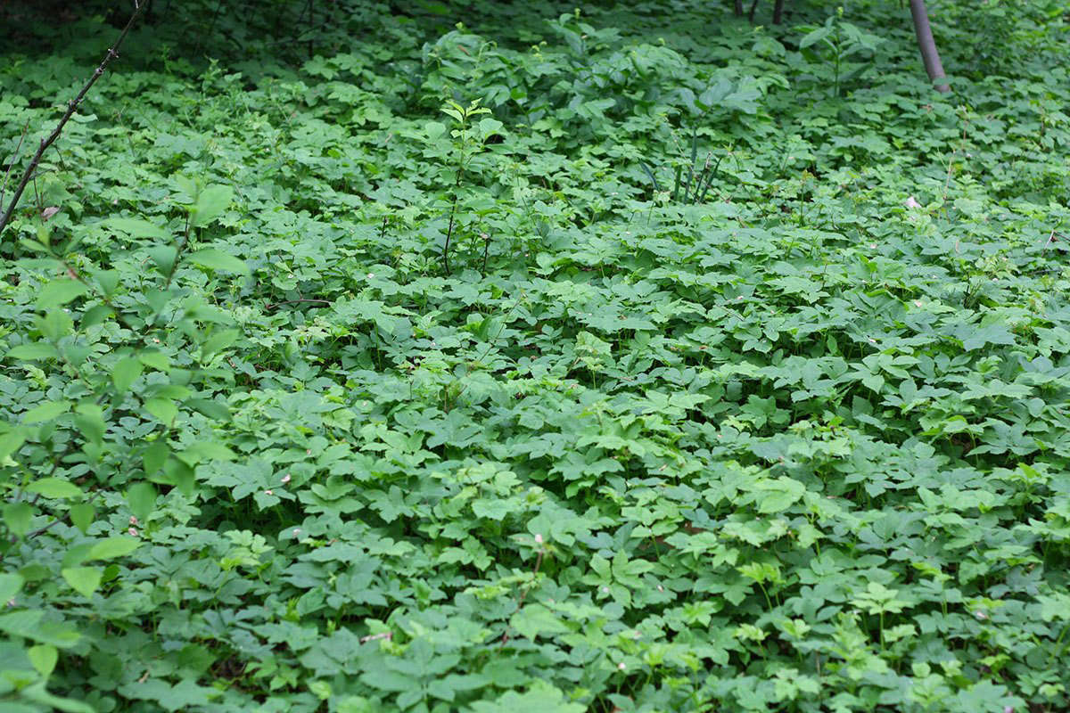 Invasive ground elder in Prospect Park by Marie Viljoen