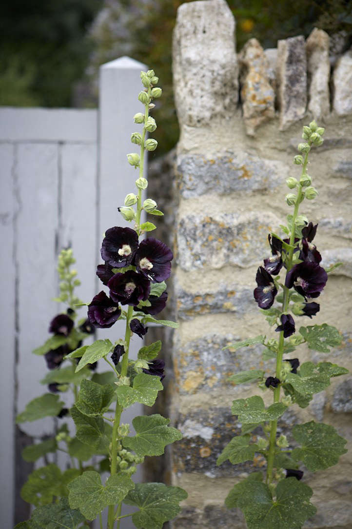 Hollyhocks alcea by Britt Willoughby Dyer