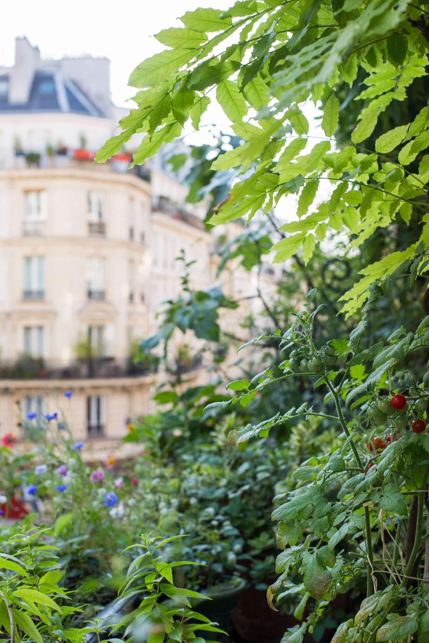 Bushes of cherry tomatoes grow against the facade of the building.