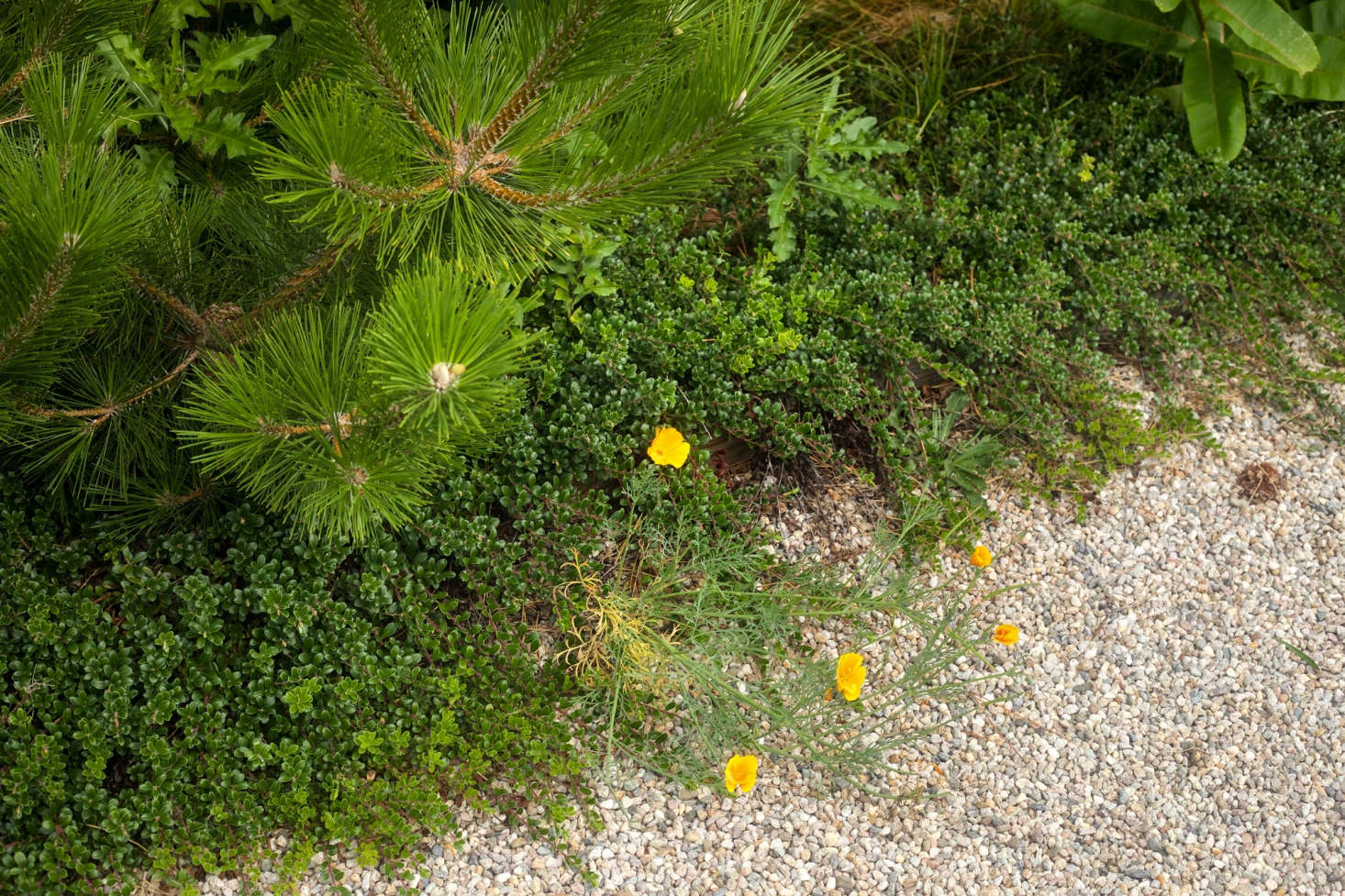 Blurred lines, Tim often softens the edges of his gardens with creeping plants, such as this native bearberry planted under a Pinus thunbergii Japanese black pine. He also likes to add a bit of &#8