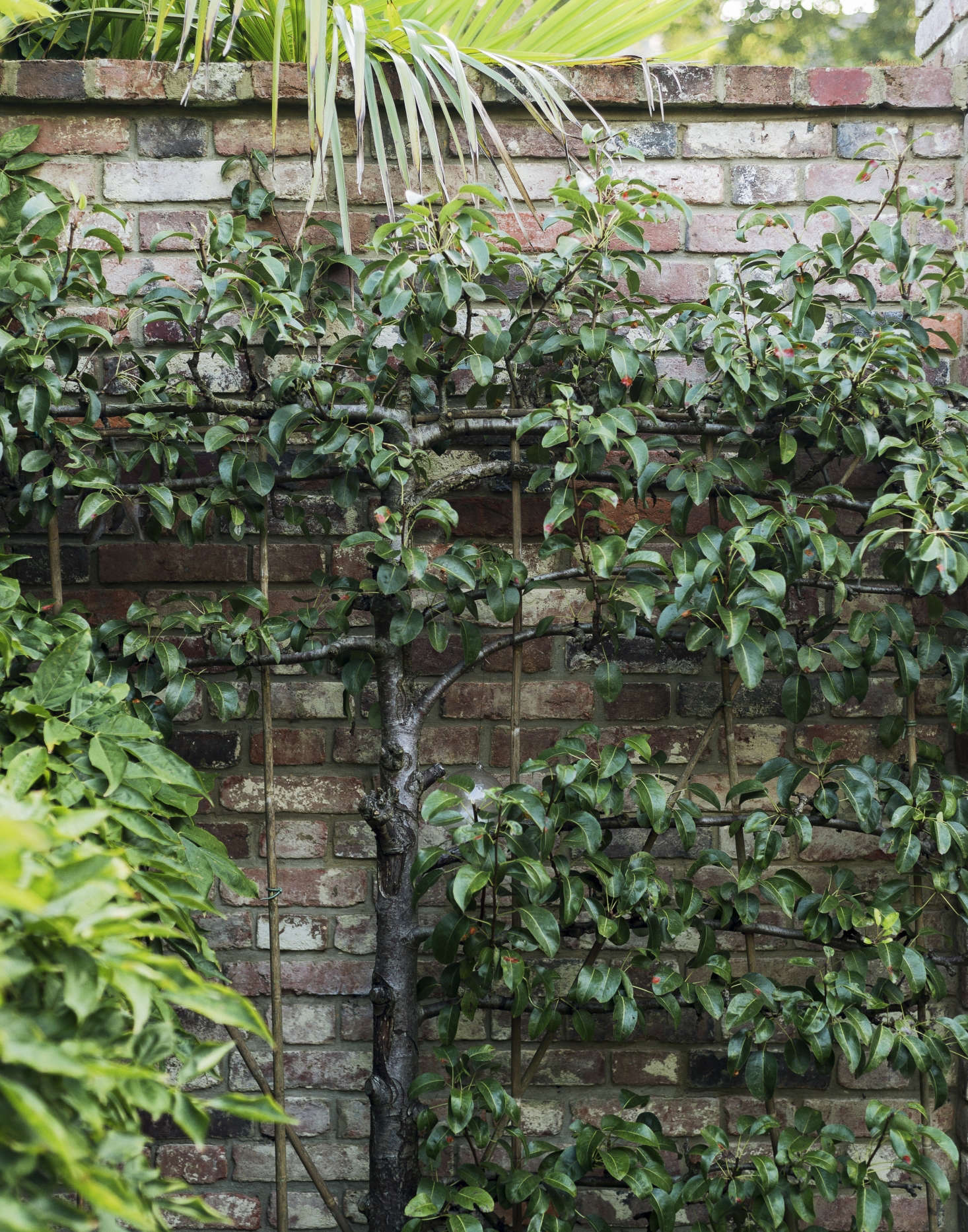 London-based antiques dealer Will Fisher grows fruit trees against a brick wall in his garden. Photograph by Matthew Williams for Gardenista.