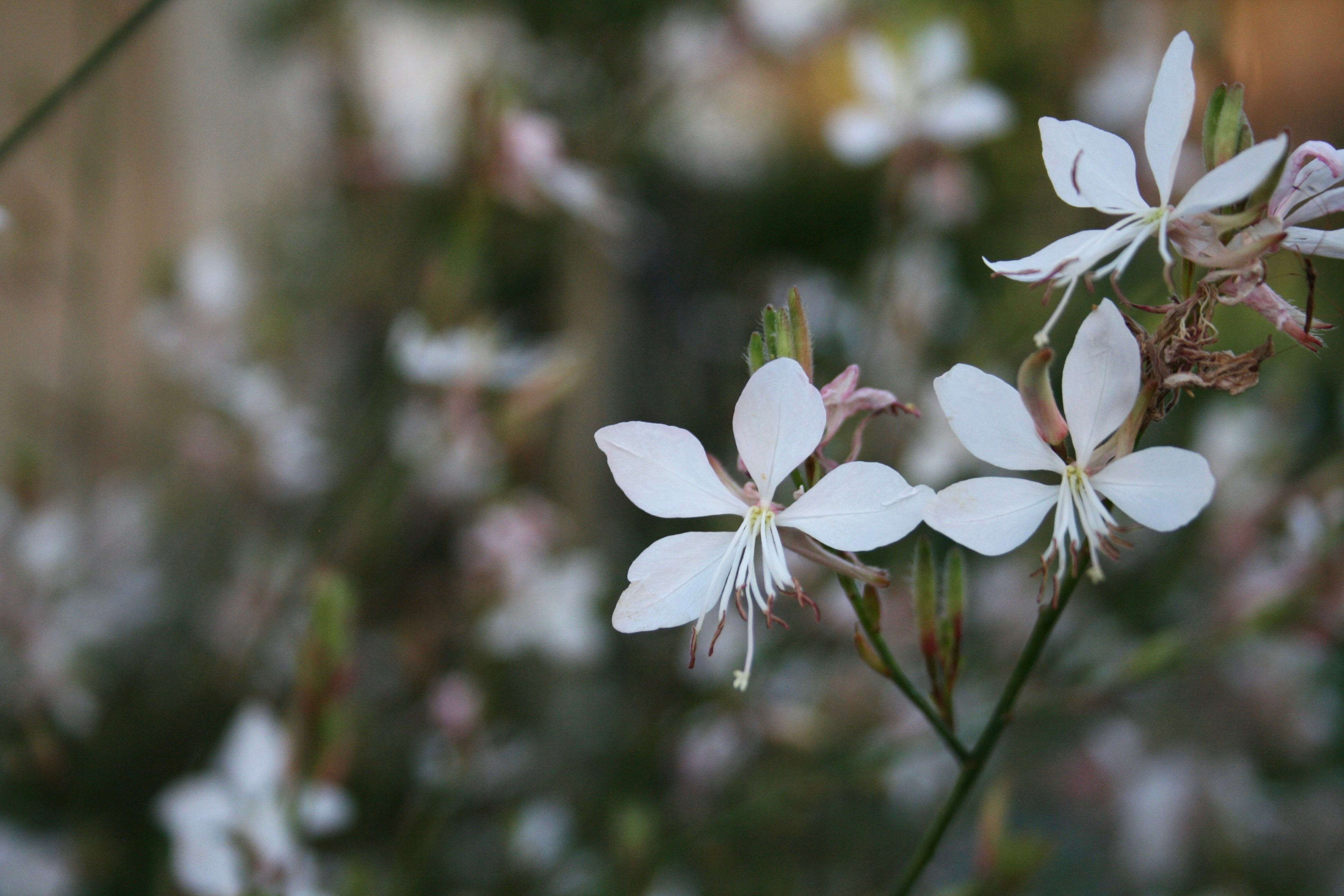 How To Successfully Grow Gaura A Field Guide To Planting Care And
