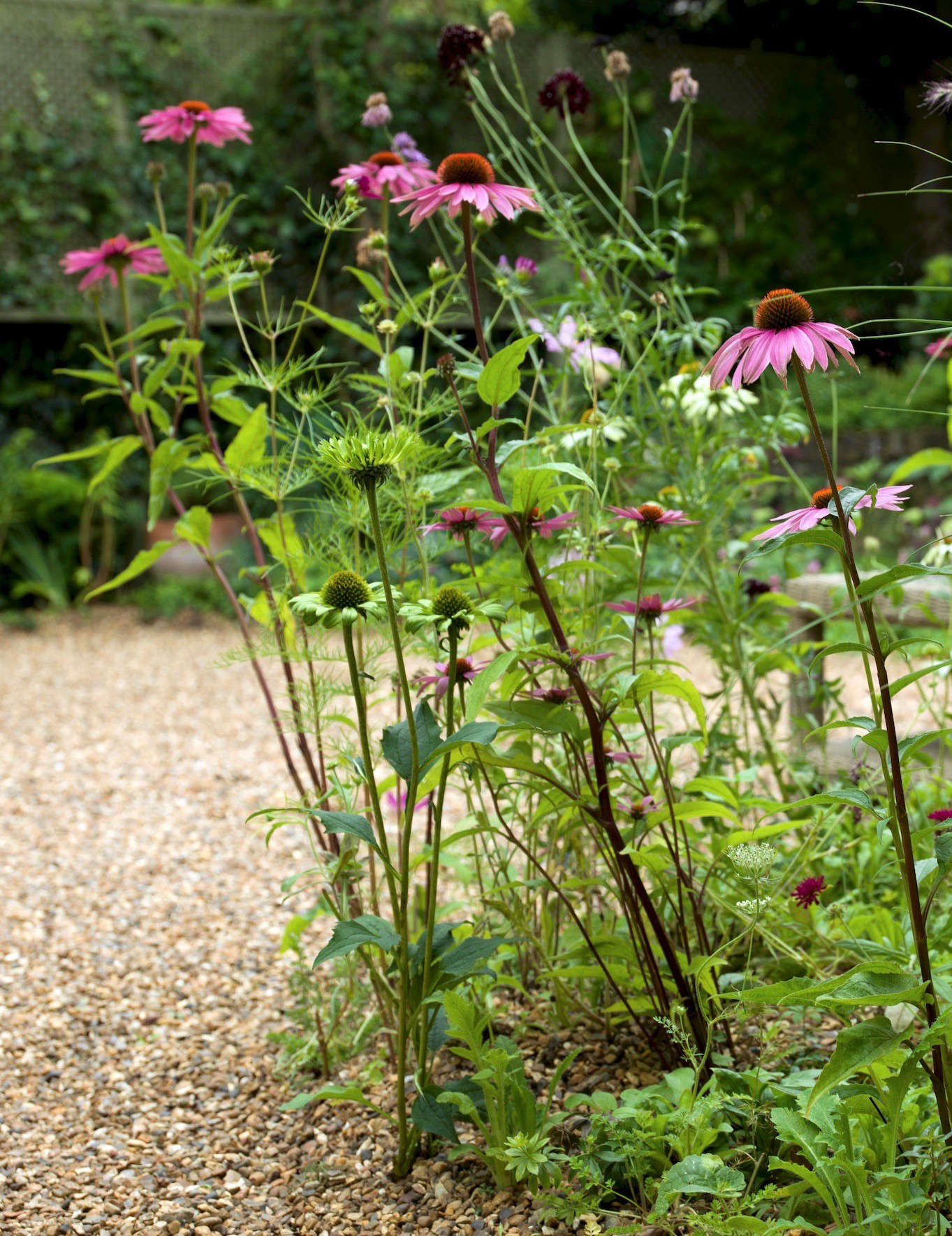 Pink echinacea blooms in the gravel garden. For more tips on how to grow and care for echinacea, see Gardening src=