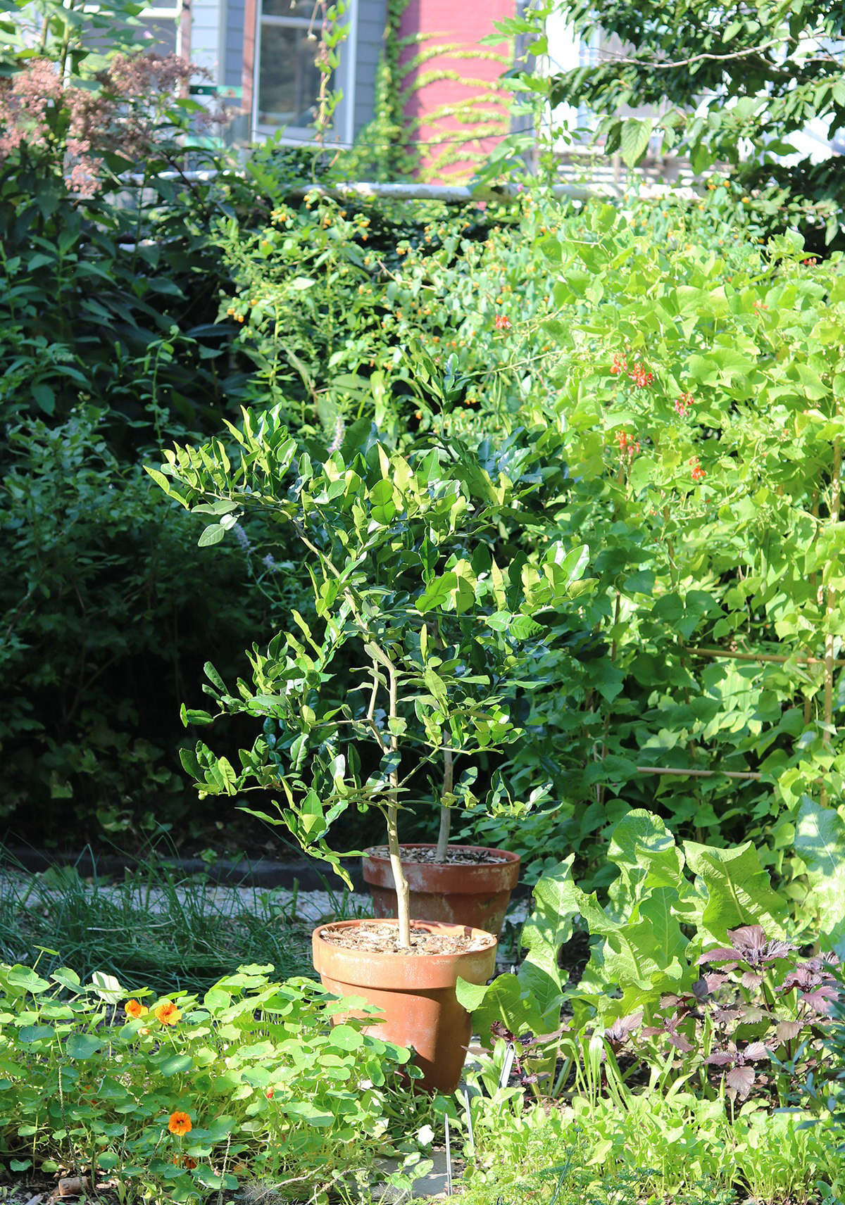 For the last several weeks my lime trees have been enjoying the sunlight in the sprawling, late-season vegetable plot, nudged by horseradish on one side and nasturtiums on the other.