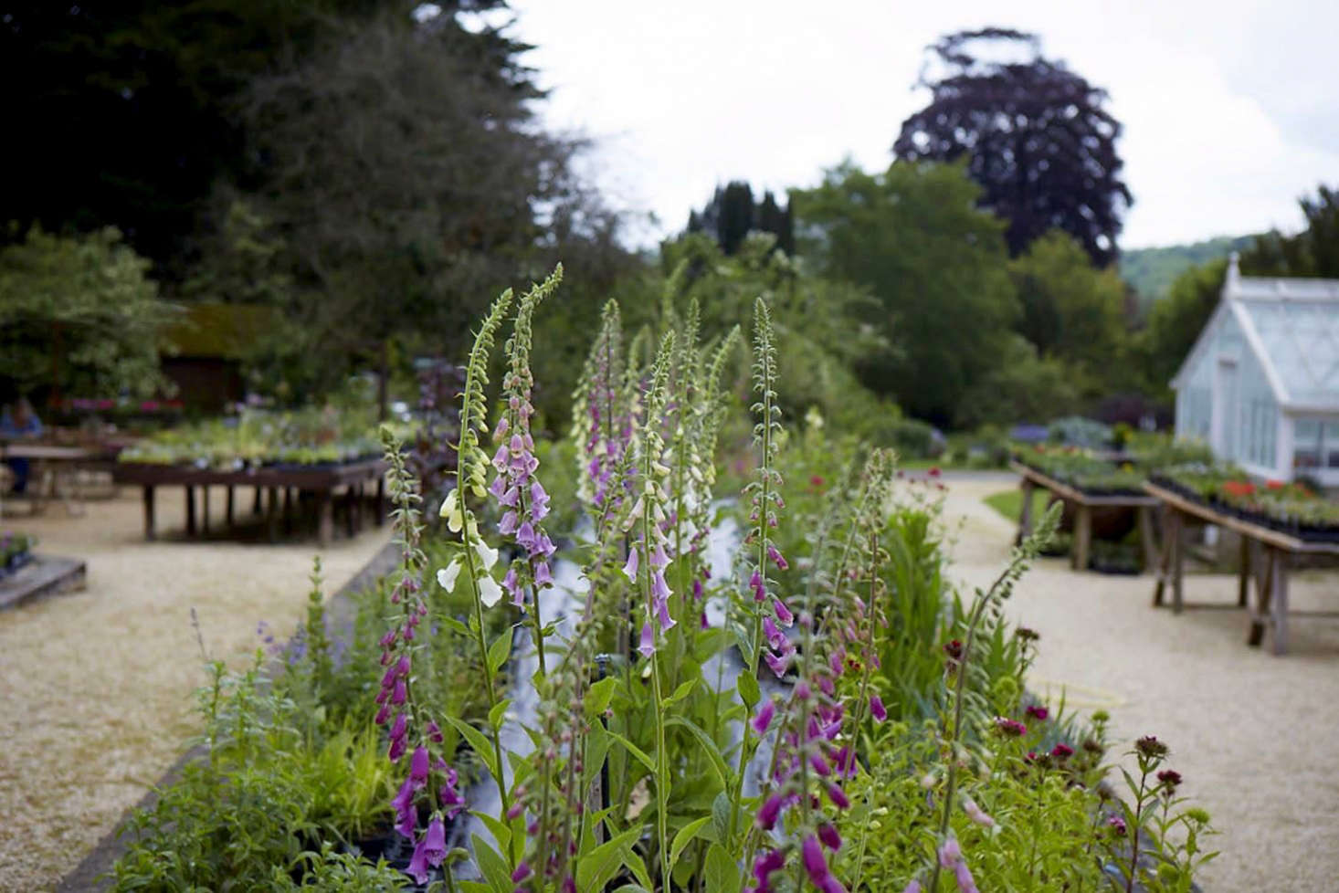 Foxgloves for sale at Miserden Nursery. See more atRidiculously Charming, Even for the Cotswolds: The Nursery at Miserden. Photograph by Britt Willoughby Dyer.