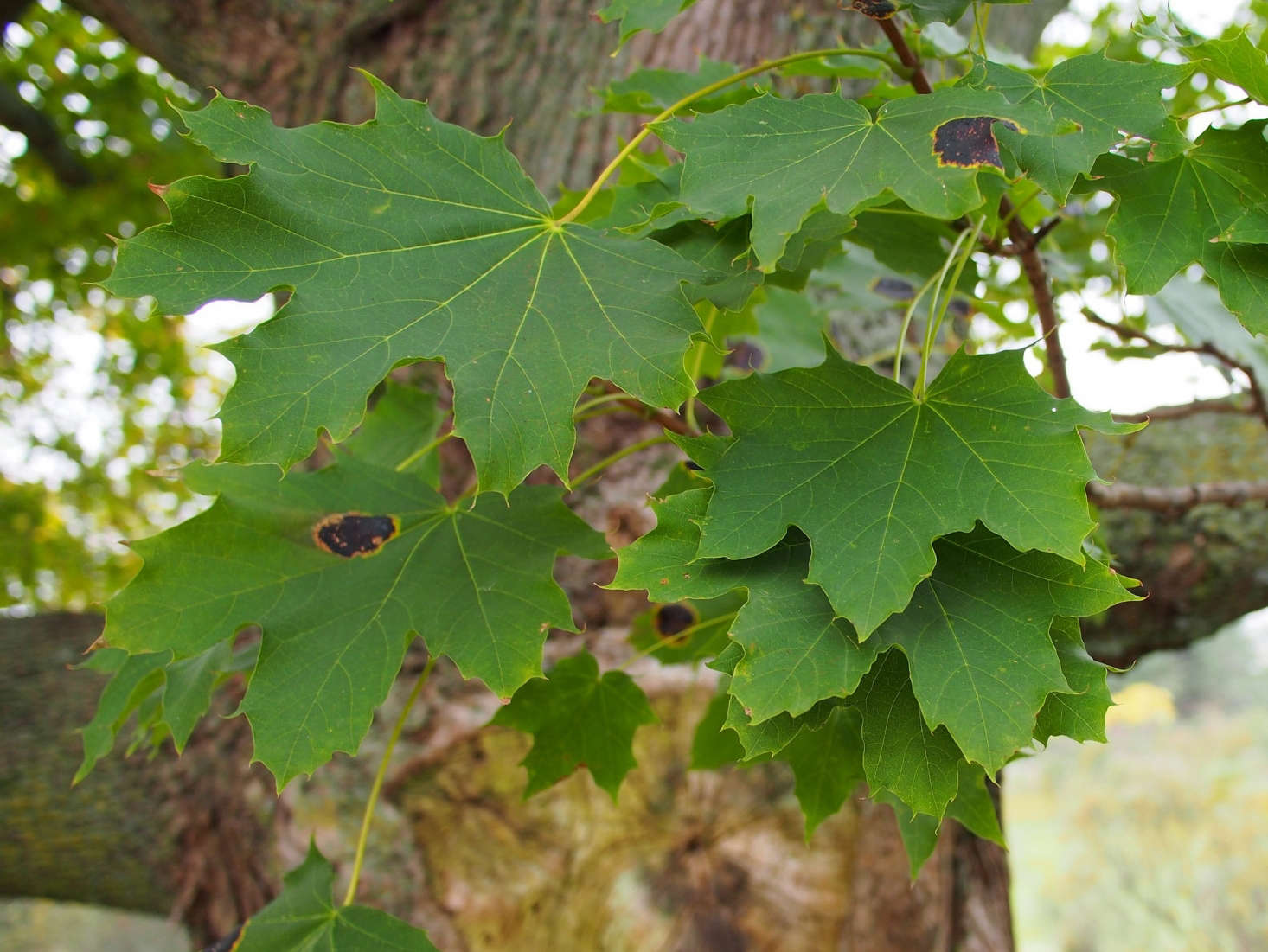 A Norway maple. Photograph by F.D. Richards via Flickr.