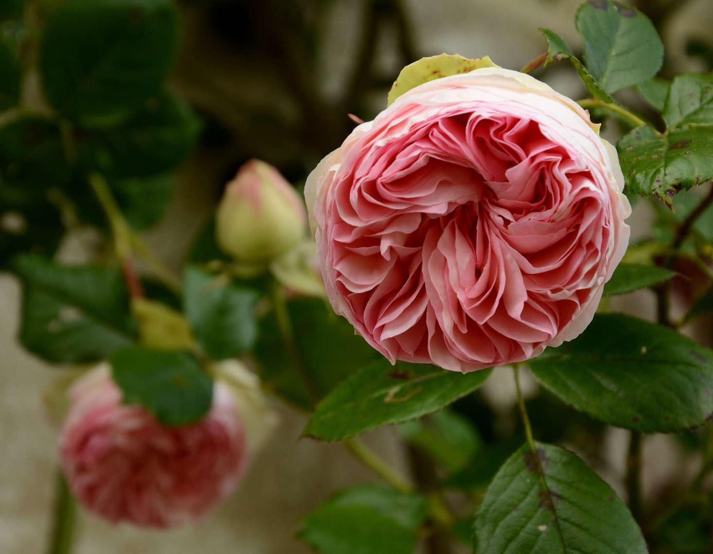 'Pierre de Ronsard'. Photograph by Anne Arnould via Flickr.