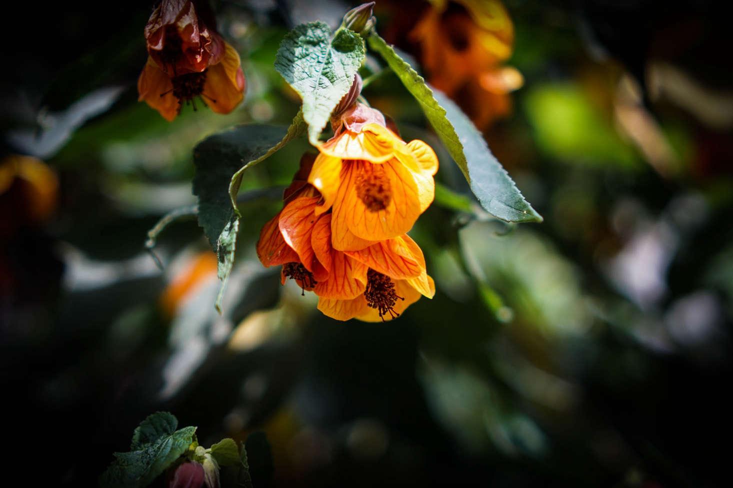 Gardening 101 Abutilons Gardenista