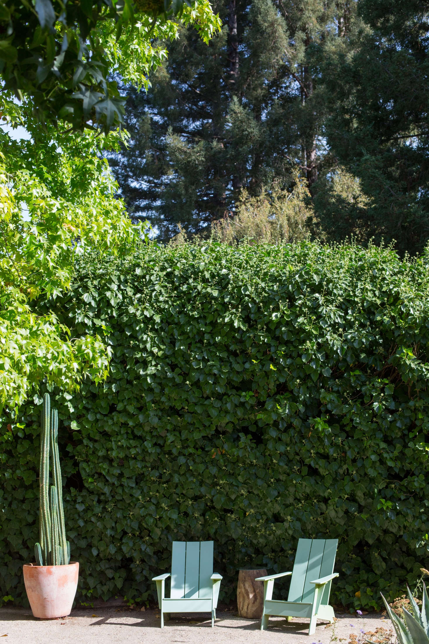 The mature ivy, nearly  feet high, grows on trunks as thick as a young tree&#8