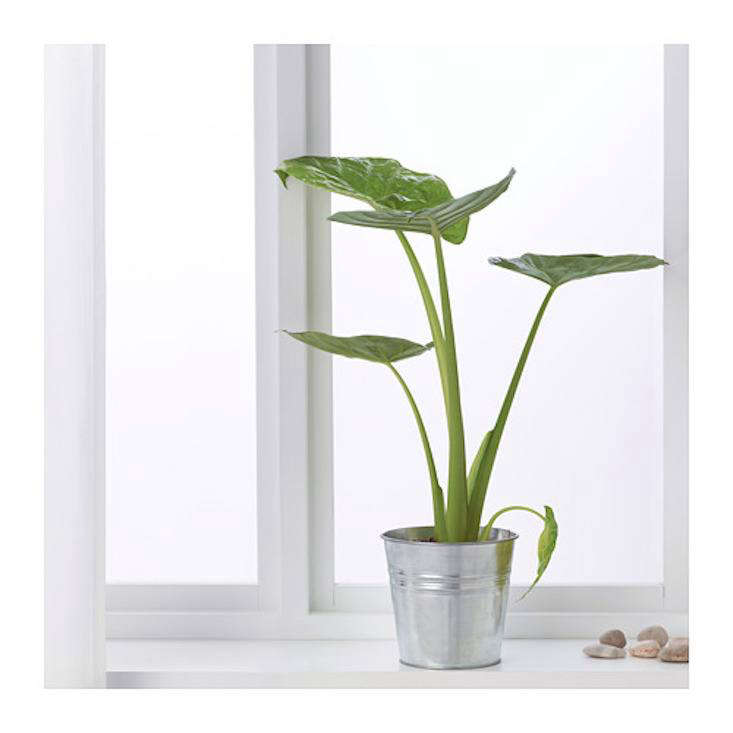 Elephant ears are having a moment. A trendyAlocasia Regal Shield potted plant is $19.99 at Ikea.
