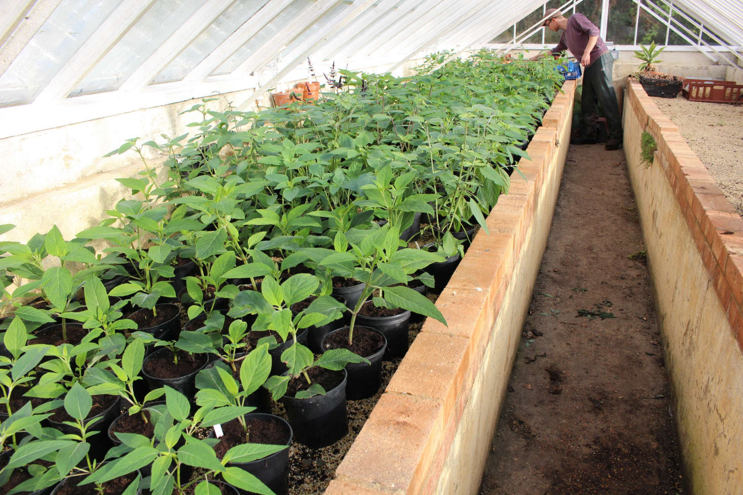 Propagate salvias from semi-ripe stems in late summer. These young plants at Gravteye were started from cuttings taken in late August. They will be held in