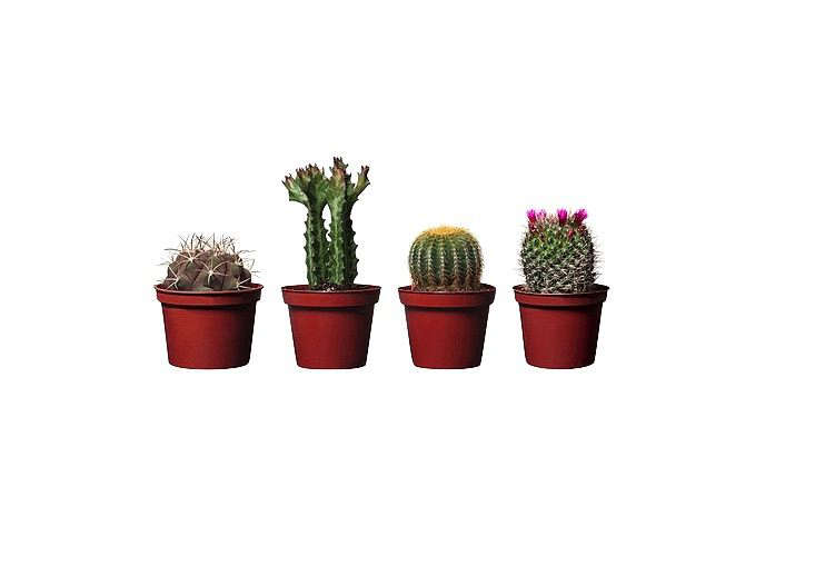 Assorted species ofCactaceae potted plants are $3.99 apiece at Ikea.