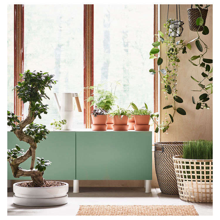 An insiders guide to getting first dibs on the best ikea a bonsai ficus microcarpa ginseng is 2999 at ikea gumiabroncs Image collections