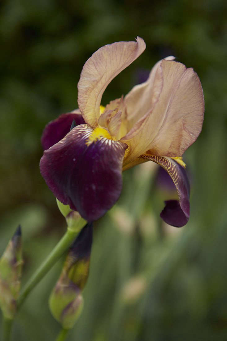 Calling all gardeners a quest to save rare irises gardenista iris bruno from the 1920s 1922 probably some older irises izmirmasajfo
