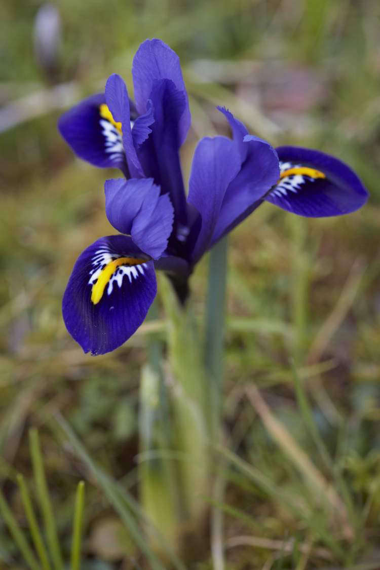 October To Do Plant Dwarf Iris For Early Spring Flowers Gardenista