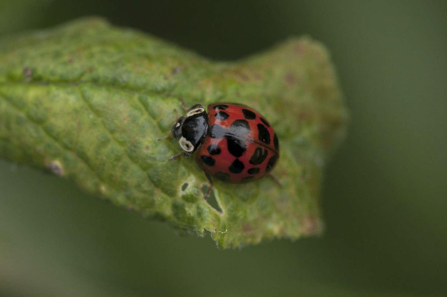 Harlequin ladybug on an aphid-ravaged fruit tree leaf.