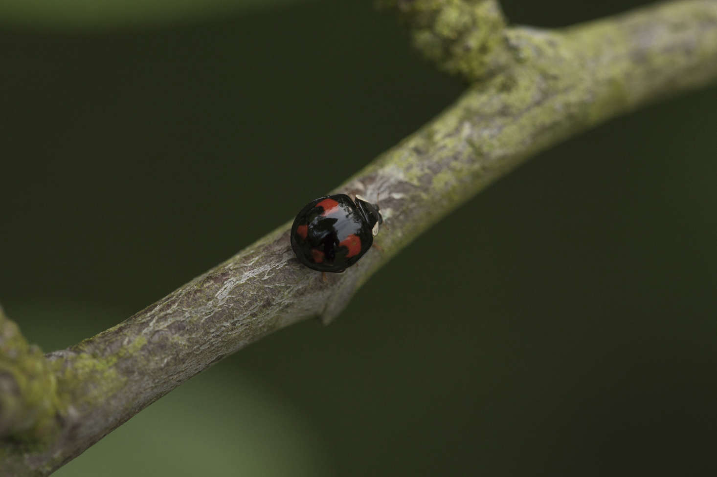 A melanic ladybird beetle (melanic signifies the black base in its coloring). It is similar to a native pine ladybird but is in fact a harlequin.