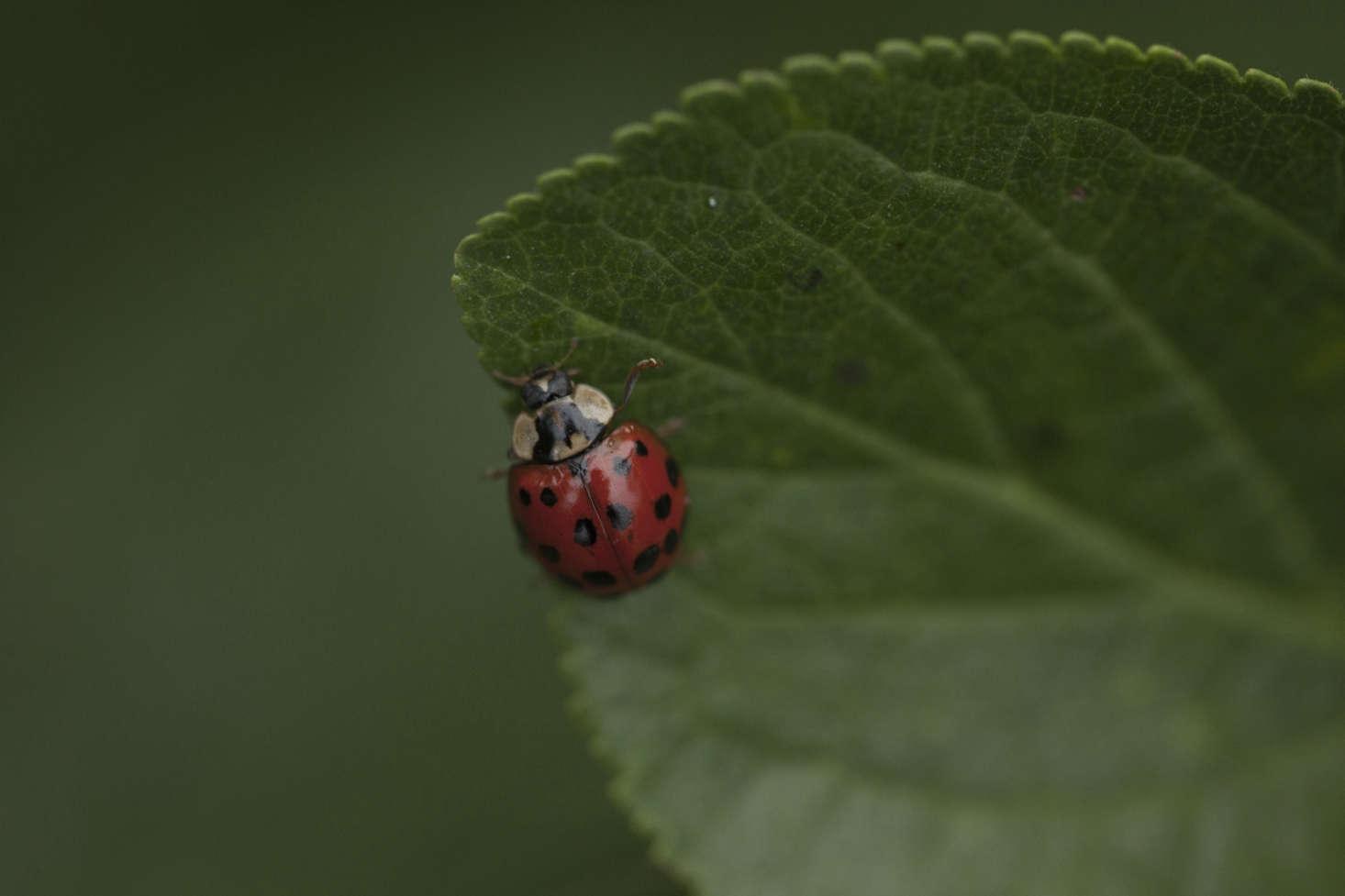 An un-endangered harlequin ladybird beetle.