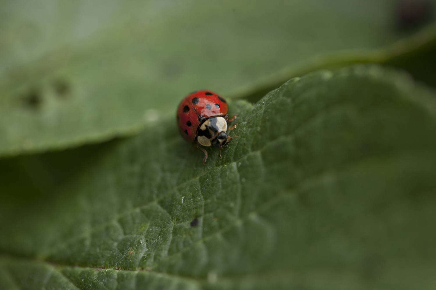 Your Gardens Best Friend The Life And Times Of A Ladybug Gardenista