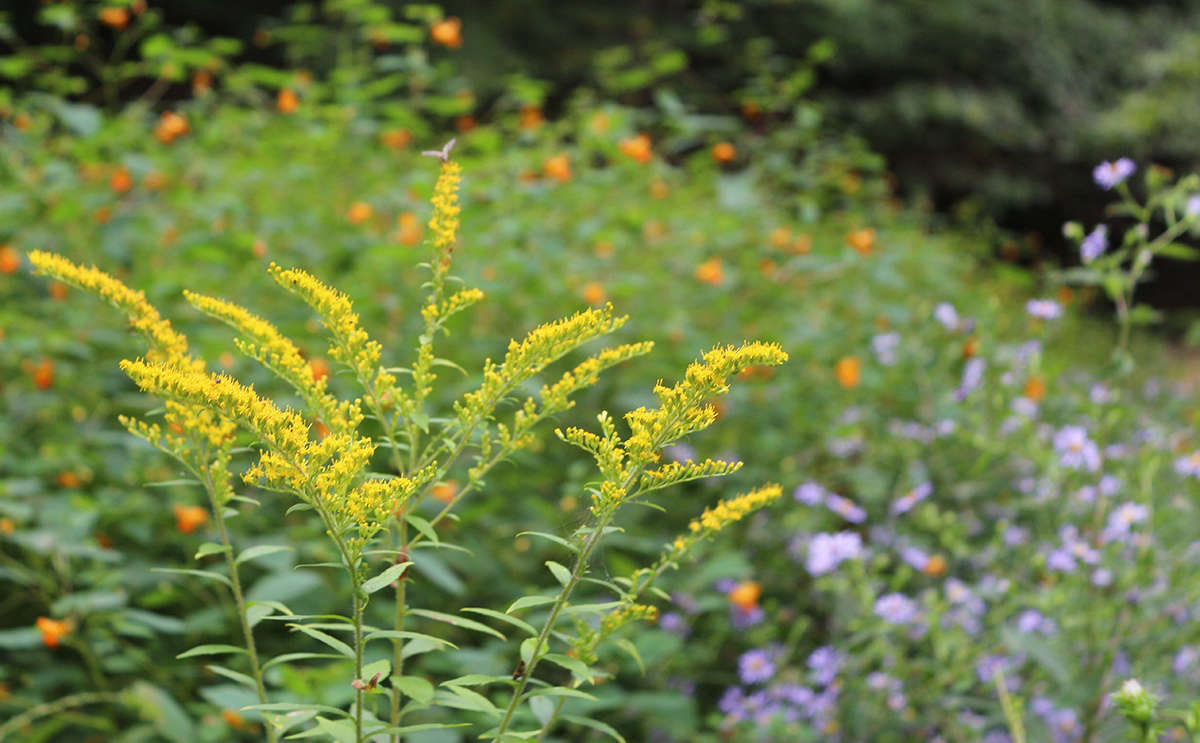 The beauty of a wide range of species to draw from is that there is a goldenrod for every plant palette.