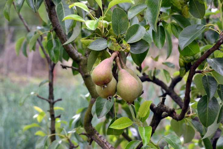 pears on trees in Romania by Marcu Ioachim via Flickr.