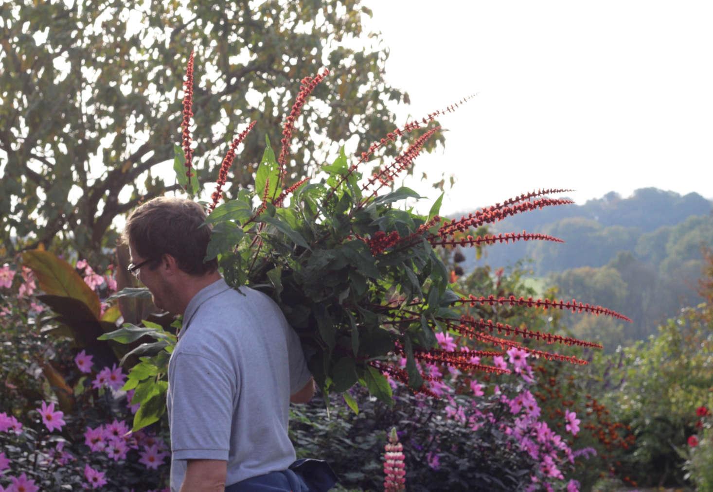 Gravetye senior gardener Stuart Lambert carries cuts of the Brazilian native Salvia confertiflora to the house florists.
