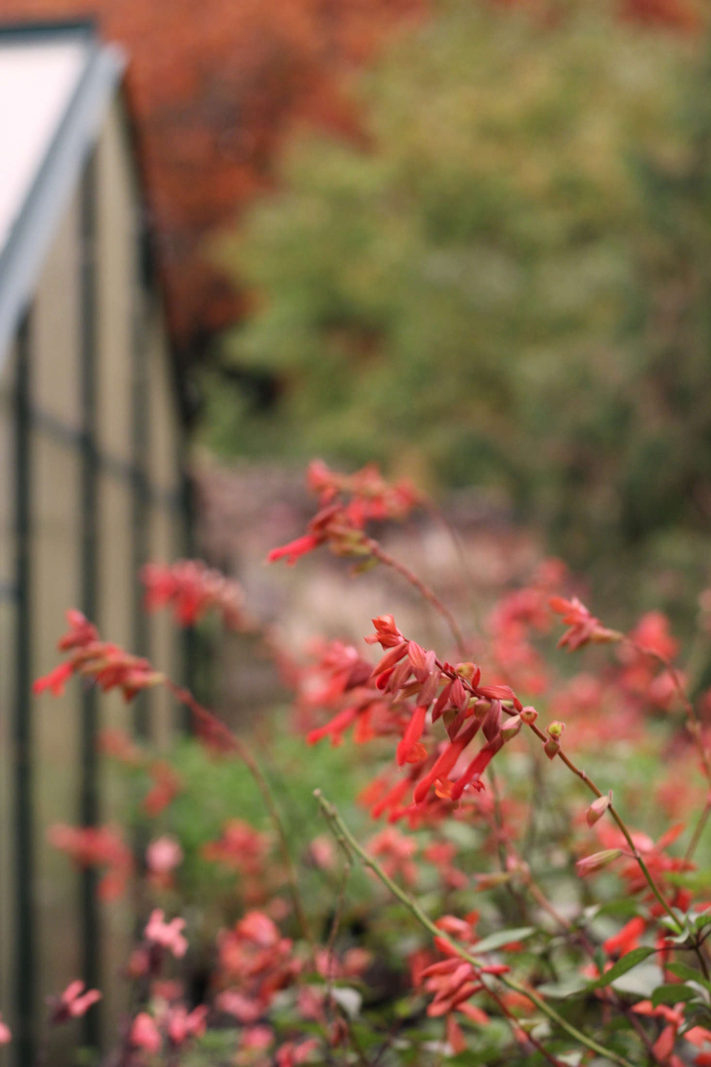 The coral Salvia &#8