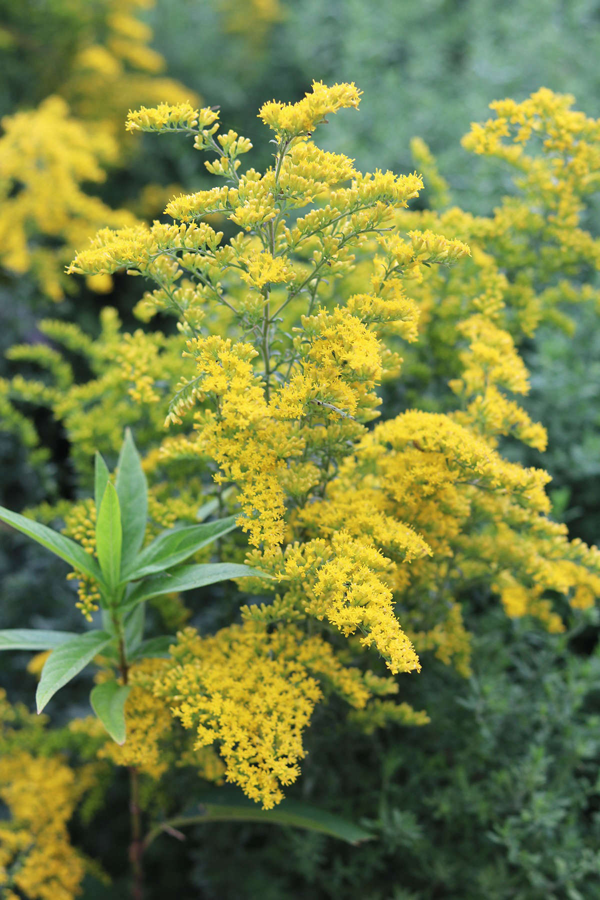 The flowers of gray goldenrod are easy to collect: simply strip them from the cut stalk, and collect in a small bag or bowl. They can be used fresh or as a dried herb. The later green and ripe seeds also have very interesting food potential.