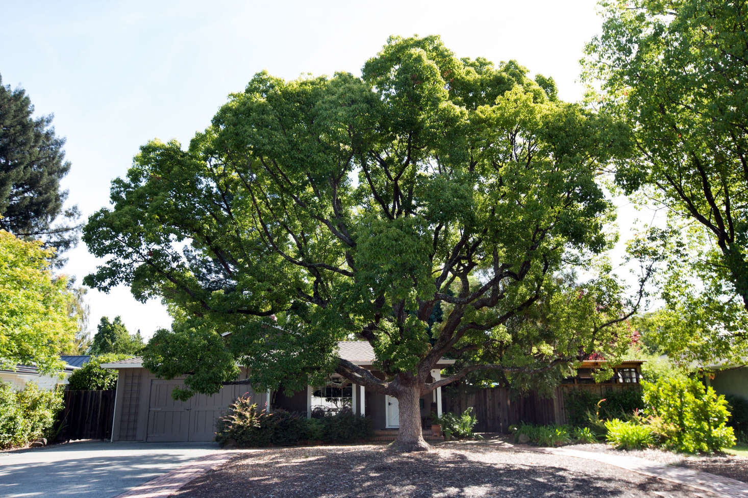 In the front yard is a massive and magnificent camphor tree. &#8