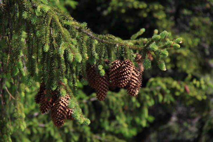 pine cones in Transylvania by Cristian Bortes via Flickr.