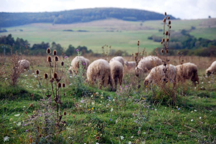 seeds heads sheep in Transylvania by Jenny Salita via Flickr.