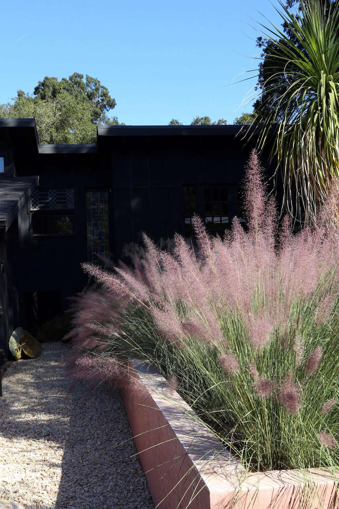 粉色的草坪是草草的植物!它在阳光下有一种黑色的色彩。